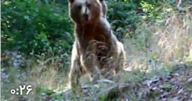 حمله ناکام خرس ایرانی به طبیعت گردان