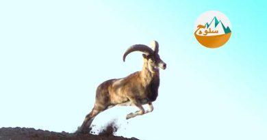 شاید شما هم در هنگام اجرای یک برنامه کوهنوردی یا در زمان مشاهده فیلم مستند از نحوه صعود و فرود بُز کوهی دچار حیرت شده باشید؛ جانوران زیبا و عجیبی که مسیرهای سخت و صعبالعبور را به راحتی میپیمایند